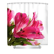 Alstroemeria Flowers Against White Shower Curtain