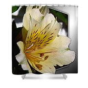 Alstroemeria Named Marilene Staprilene Shower Curtain