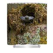 American Dipper And Nest   #1538 Shower Curtain