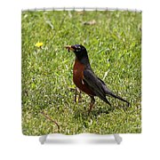 American Robin Gathering Worms Shower Curtain