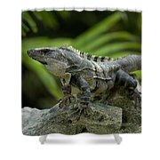 An Iguana Sunbathes In The Ancient Shower Curtain