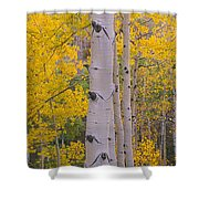 Aspen Trees In A Forest, Telluride, San Shower Curtain