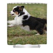 Australian Shepherd Puppy Shower Curtain