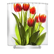 Backlit Tulip Flowers Against White Shower Curtain