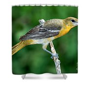 Baltimore Oriole Icterus Galbula Shower Curtain