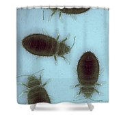 Bed Bugs Cimex Lectularius Shower Curtain
