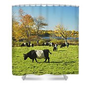 Belted Galloway Cows Grazing On Grass In Rockport Farm Fall Main Shower Curtain