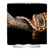 Blood Python Python Brongersmai Shower Curtain
