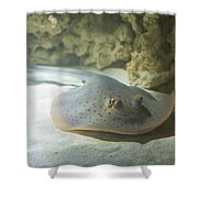 Blue Spotted Fantail Ray  Shower Curtain