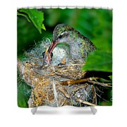 Broad-billed Hummingbird And Young Shower Curtain