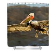Brown Pelican In Flight Shower Curtain