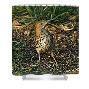 Brown Thrasher Shower Curtain