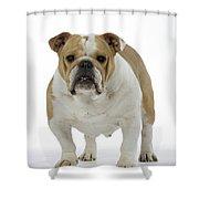Bulldog, Female Shower Curtain