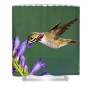 Calliope Hummingbird Stellula Calliope Shower Curtain