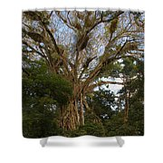 Cathedral Fig Tree Shower Curtain