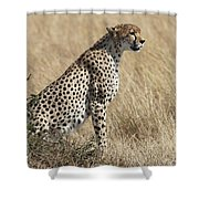 Cheetah Searching For Prey Shower Curtain