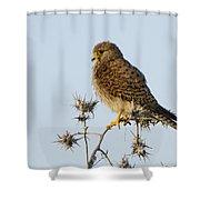 Common Kestrel Falco Tinnunculus Shower Curtain