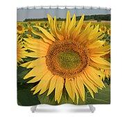 Common Sunflower Helianthus Annuus Shower Curtain