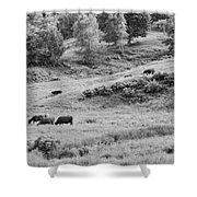 Cows Grazing In Field Rockport Maine Shower Curtain
