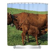Cows Salers Shower Curtain