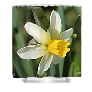 Cyclamineus Daffodil Named Jack Snipe Shower Curtain