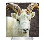 Dall Sheep Shower Curtain