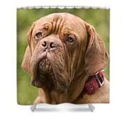 Dogue De Bordeaux Shower Curtain