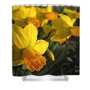 Dwarf Cyclamineus Daffodil Named Jet Fire Shower Curtain