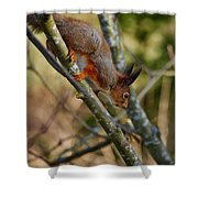 Eurasian Red Squirrel Shower Curtain