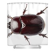 European Rhinoceros Beetle Female  Shower Curtain