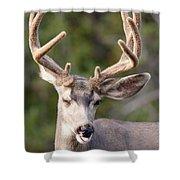 Funny Mule Deer Buck Portrait With Velvet Antler Shower Curtain