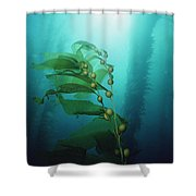 Giant Kelp Macrocystis Pyrifera Forest Shower Curtain