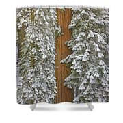 Giant Sequoias And Snow  Shower Curtain by Yva Momatiuk John Eastcott