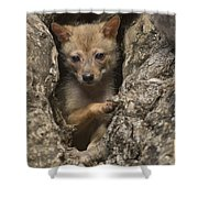 Golden Jackal Canis Aureus Cubs Shower Curtain