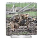 Golden Jackal Canis Aureus Shower Curtain