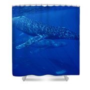 Humpback Whale Traveling Group Maui Shower Curtain