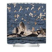 Humpback Whales Feeding With Gulls Shower Curtain