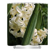 Hyacinth Named City Of Haarlem Shower Curtain