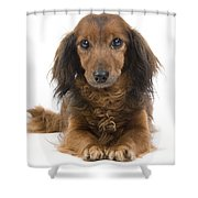 Long-haired Dachshund Shower Curtain