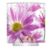 Mums Flowers Against White Background Shower Curtain