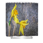 2 Old Daffodils Shower Curtain
