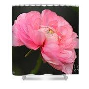 Pink Ranunculus Shower Curtain