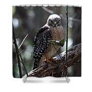 Red - Shouldered Hawk II Shower Curtain