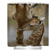 Rothschild Giraffe And Calf Shower Curtain