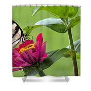 Tiger Swallowtail Butterfly On Zinnia Shower Curtain