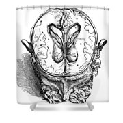 Vesalius: Brain, 1543 Shower Curtain