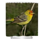 Western Tanager Shower Curtain