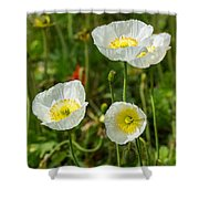 White Iceland Poppy - Beautiful Spring Poppy Flowers In Bloom. Shower Curtain