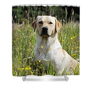 Yellow Labrador Retriever Shower Curtain