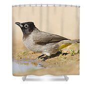 Yellow-vented Bulbul Pycnonotus Xanthopygos Shower Curtain